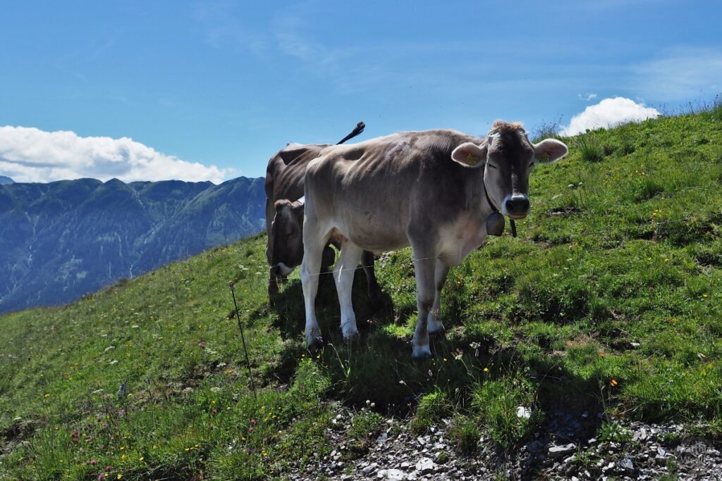 Zwei Kühe auf Bergwiese