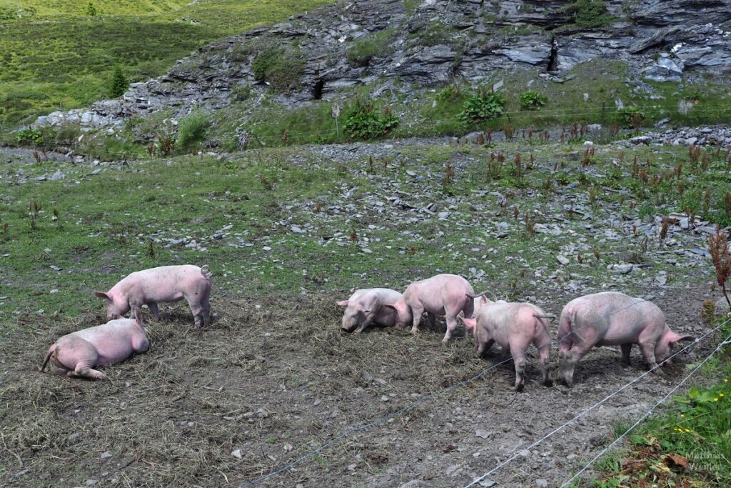 Suhlende Schweine