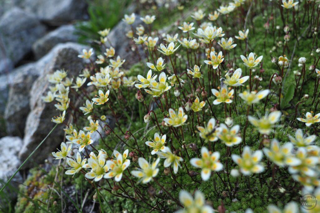 Bergblumenwelt Livigno