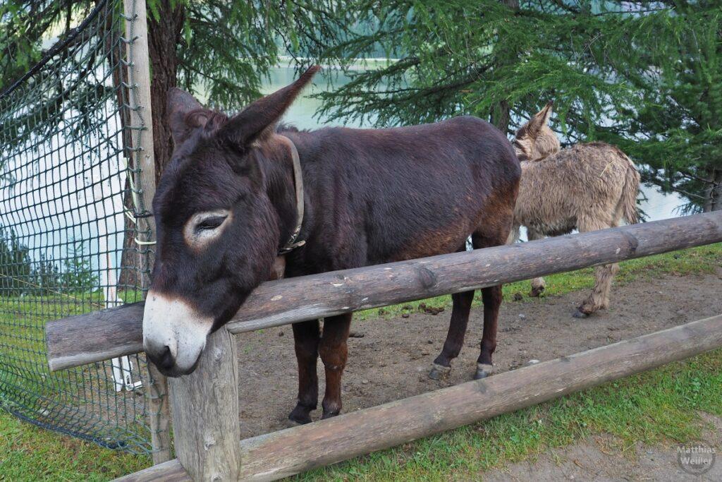Zwei Esel am Ristoro Alpisella
