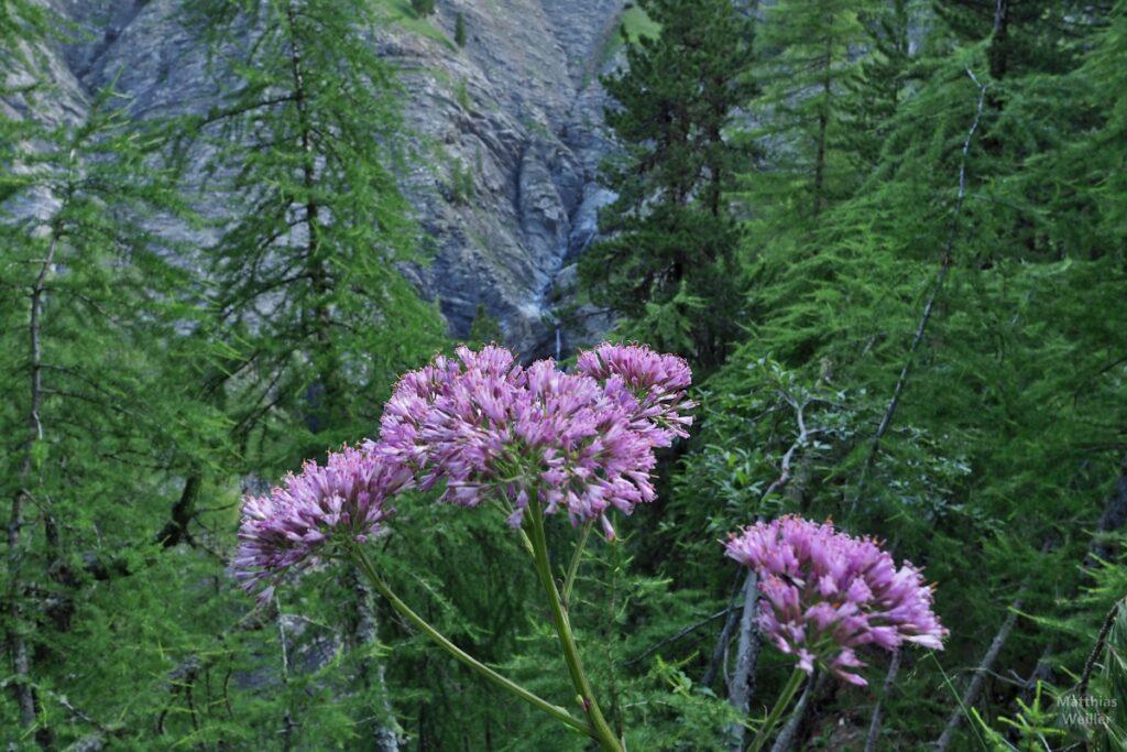 violette Bergblume
