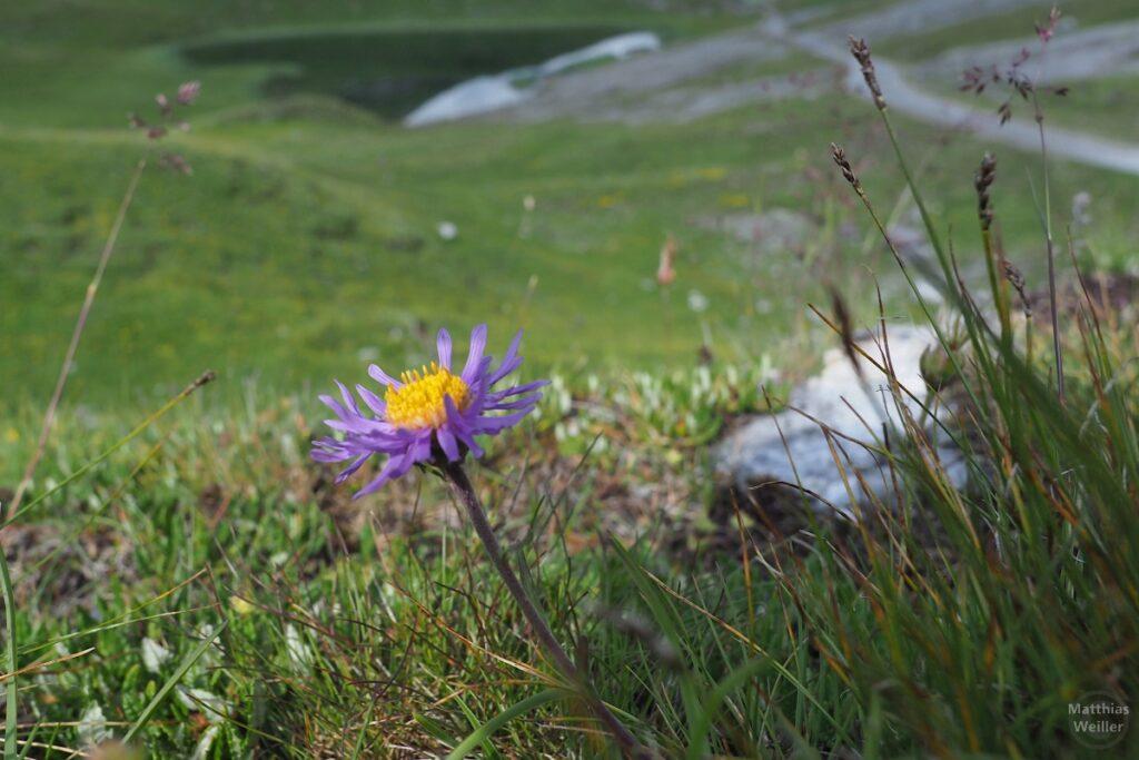 Bergblume violett/gelb