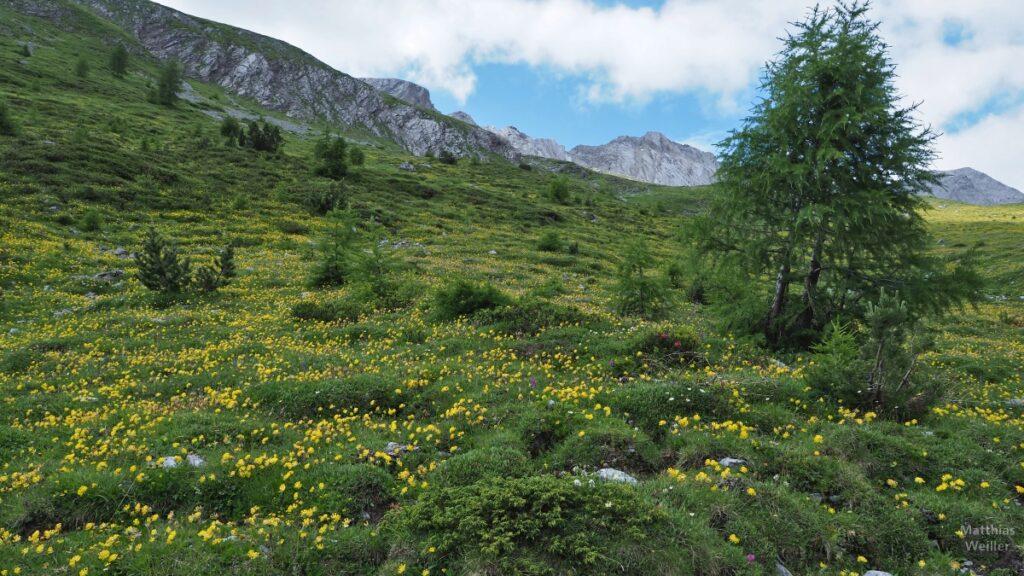 Grüne Bergwiesen mit gelben Blumenteppich