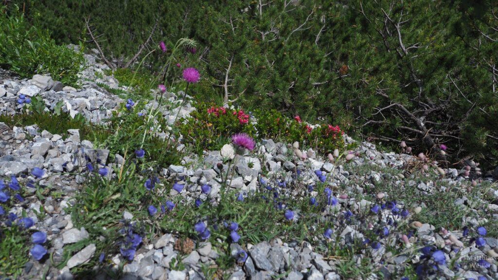 Bergblumen über Steinen