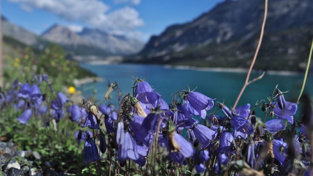 Blaue Glockenblumen vor unscharfer Bergkulisse und Cancano-See