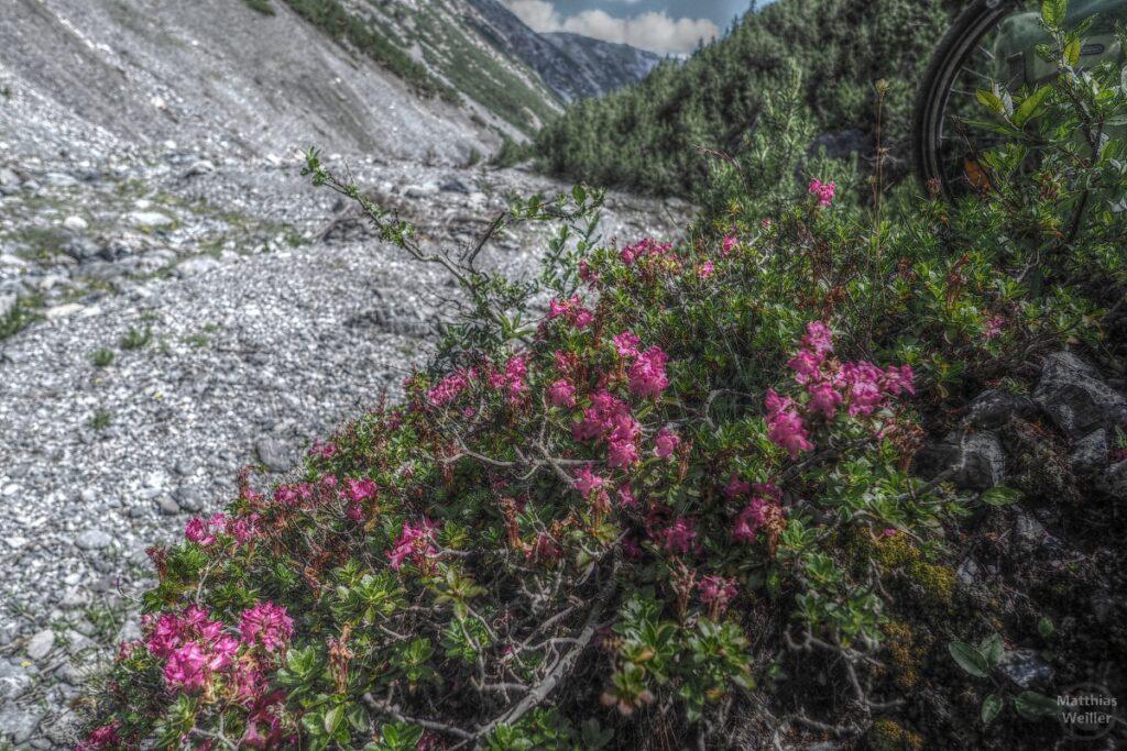 Stilsiertes Bild Alpenrosen über Flusskies, mit Teil vom Laufrad im Bild