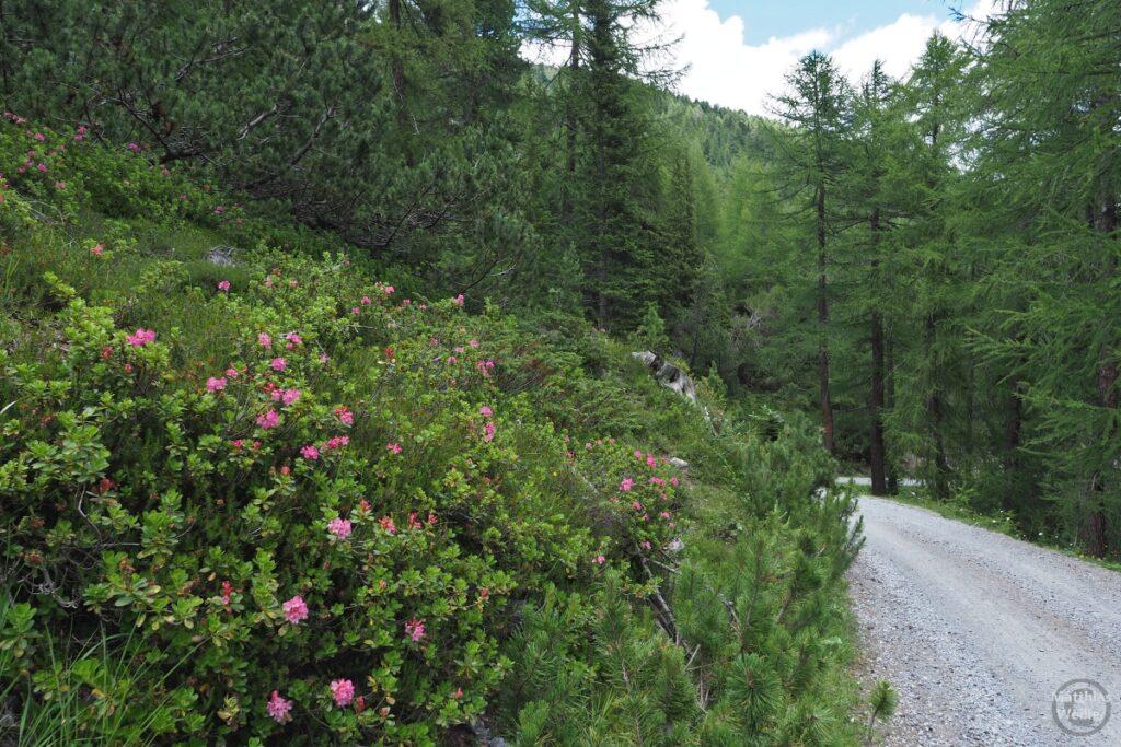 Piste mit Lärchenhainund Alpenrosen