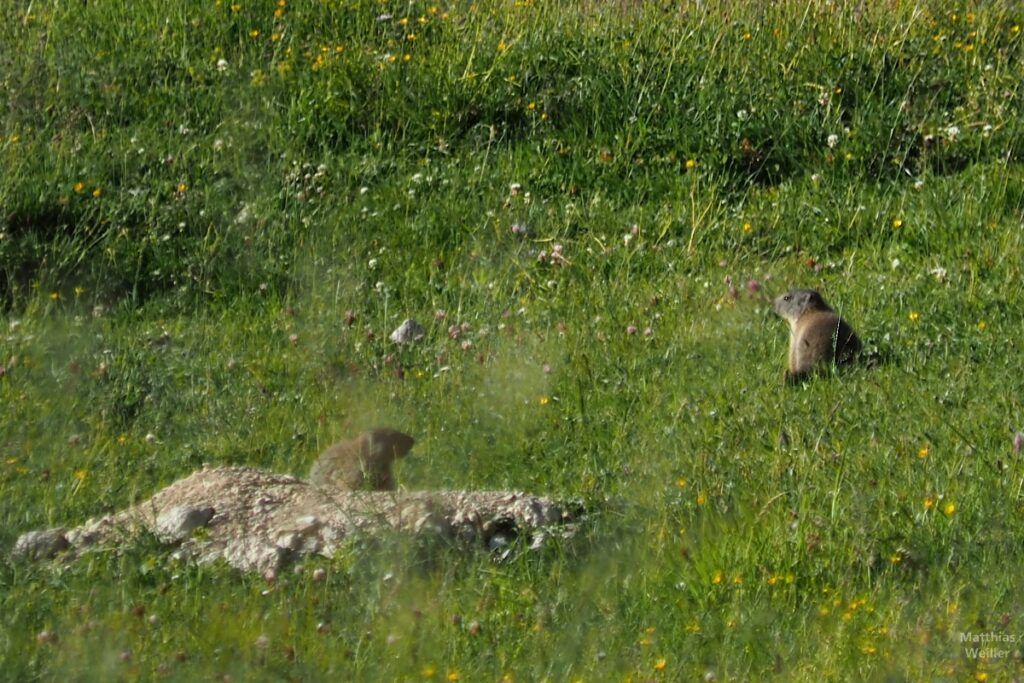 Murmeltiere in Bergwiese