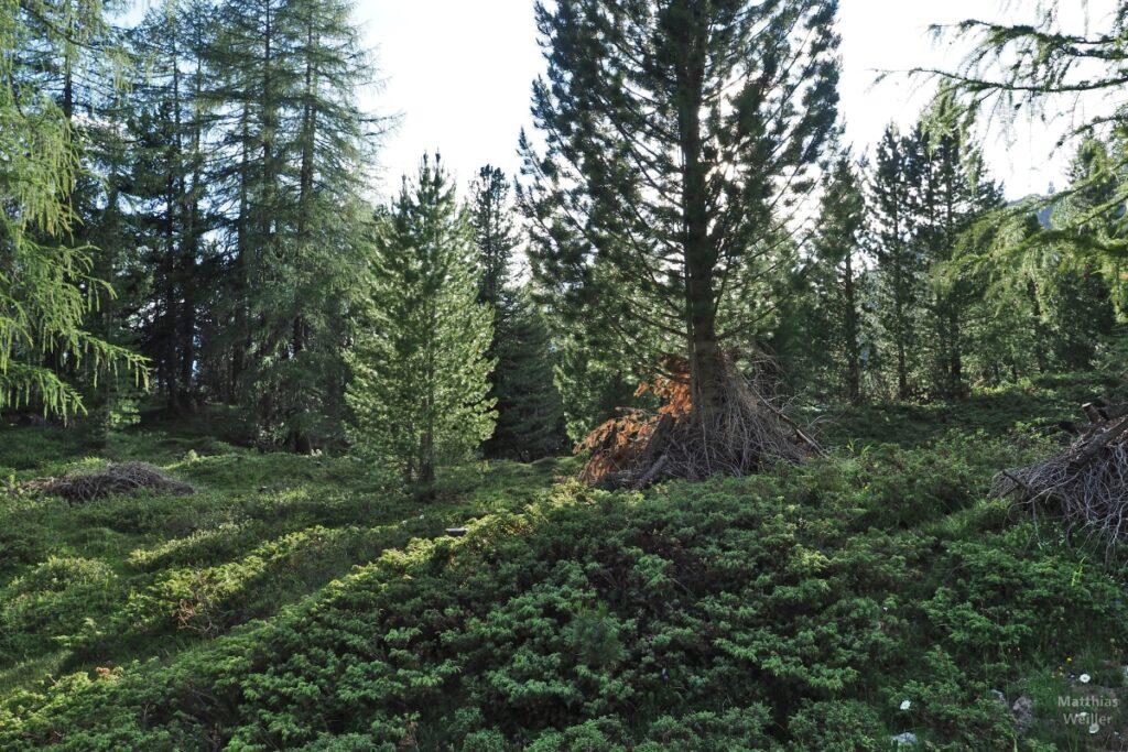 Lichtdurchfluteter Arvenmischwald