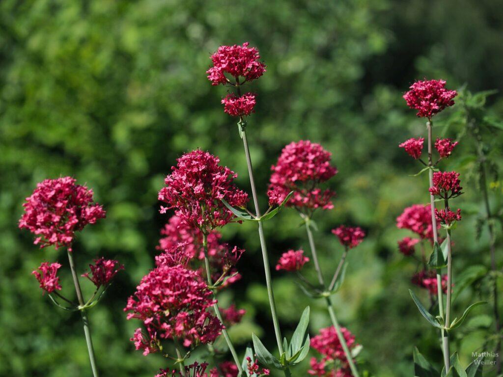 rote Blumen vor Grün