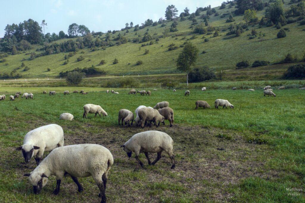 Schafe mit Wacholderheide