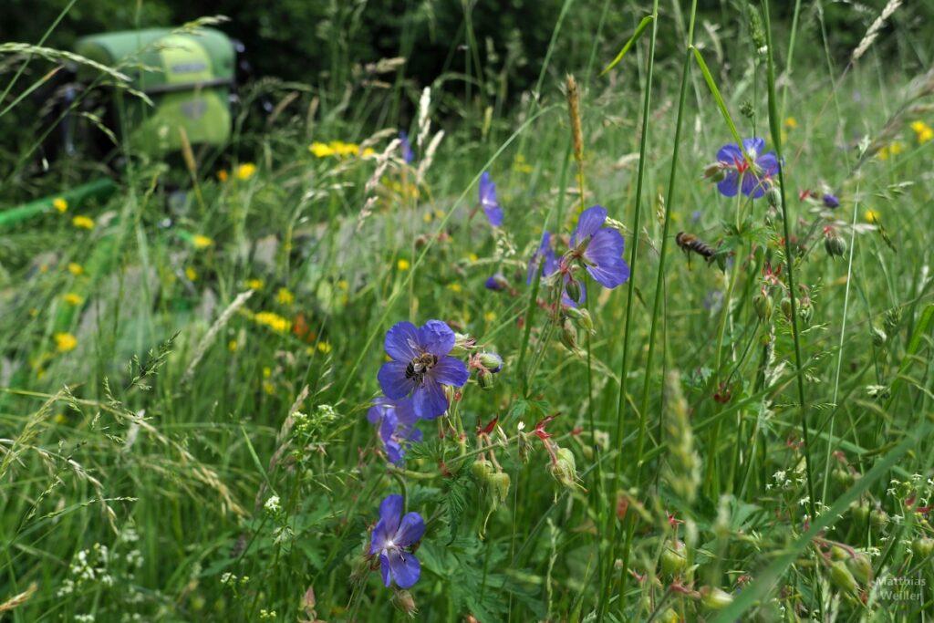 Nahaufnahme Blumenwiese, blaue Blümchen, fliegende Biene