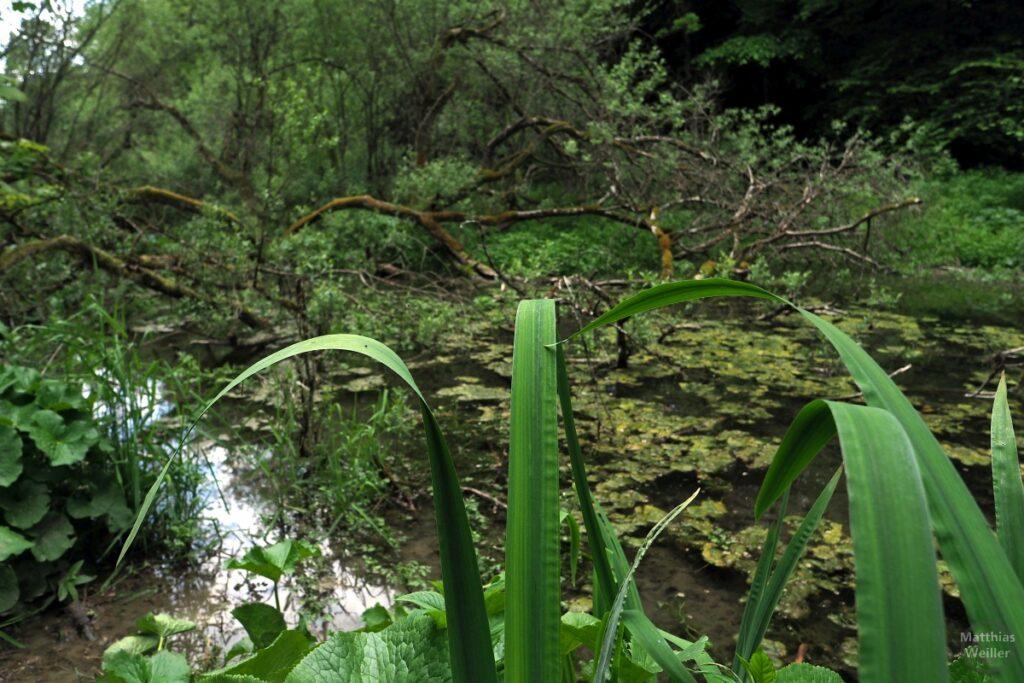 Vermoostes Totholz über Wasserpflanzenbach hinter gebogenen Wasserlilienblättern