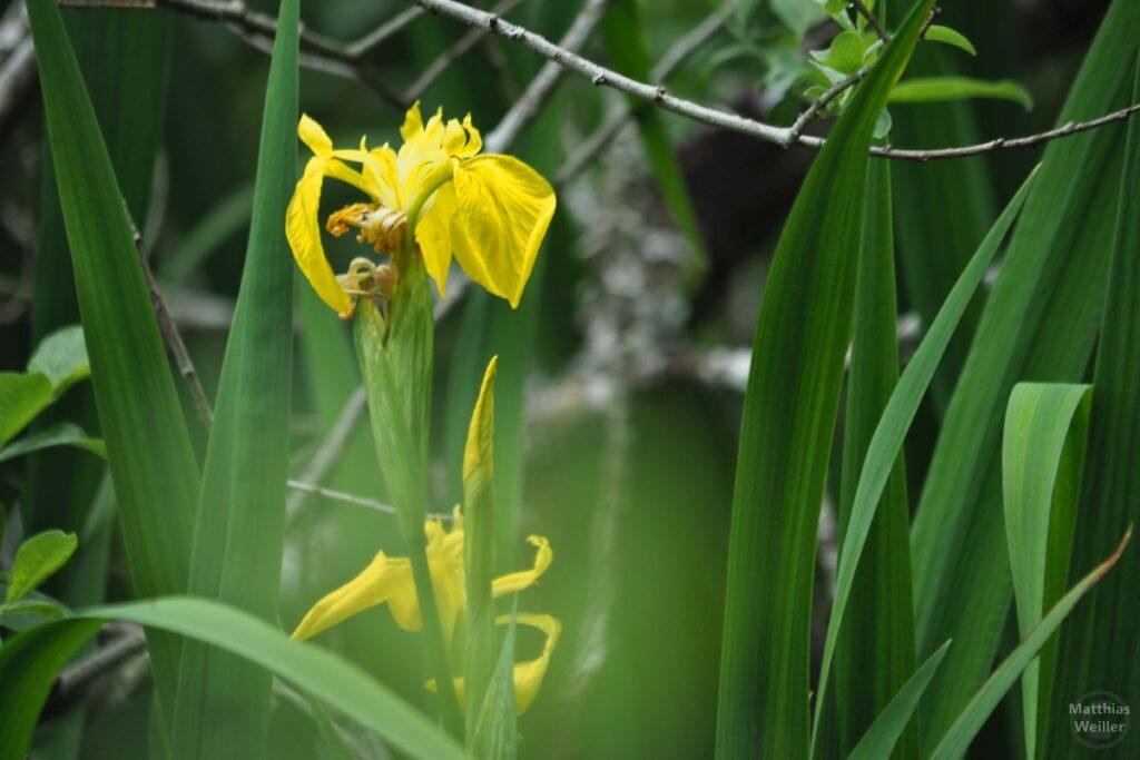 Gelbe Wasserlilie in Nahaufnahme