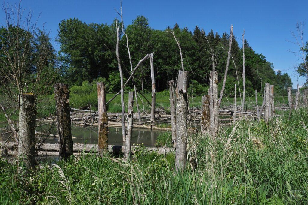 Baumreste im Bachbett (Biberrevier)