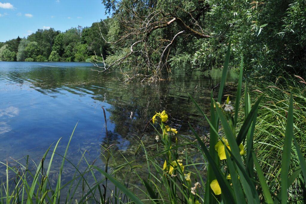 Gelbe Wasserlilie am naturbelassenen Seeufer