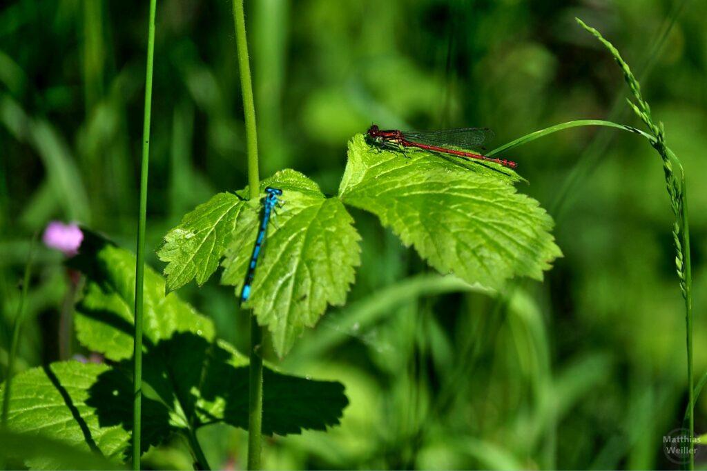 blaue und rote Libelle, auf zwei Blättern getrennt