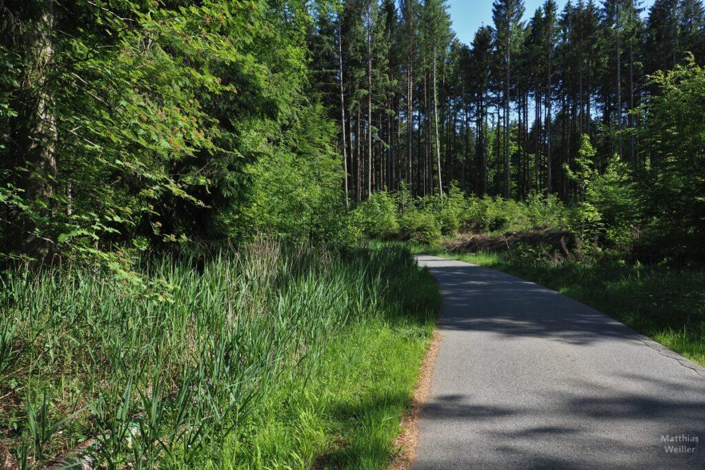Asphaltierte Fahrweg durch Schilfgürtel im hohen Fichtenwald