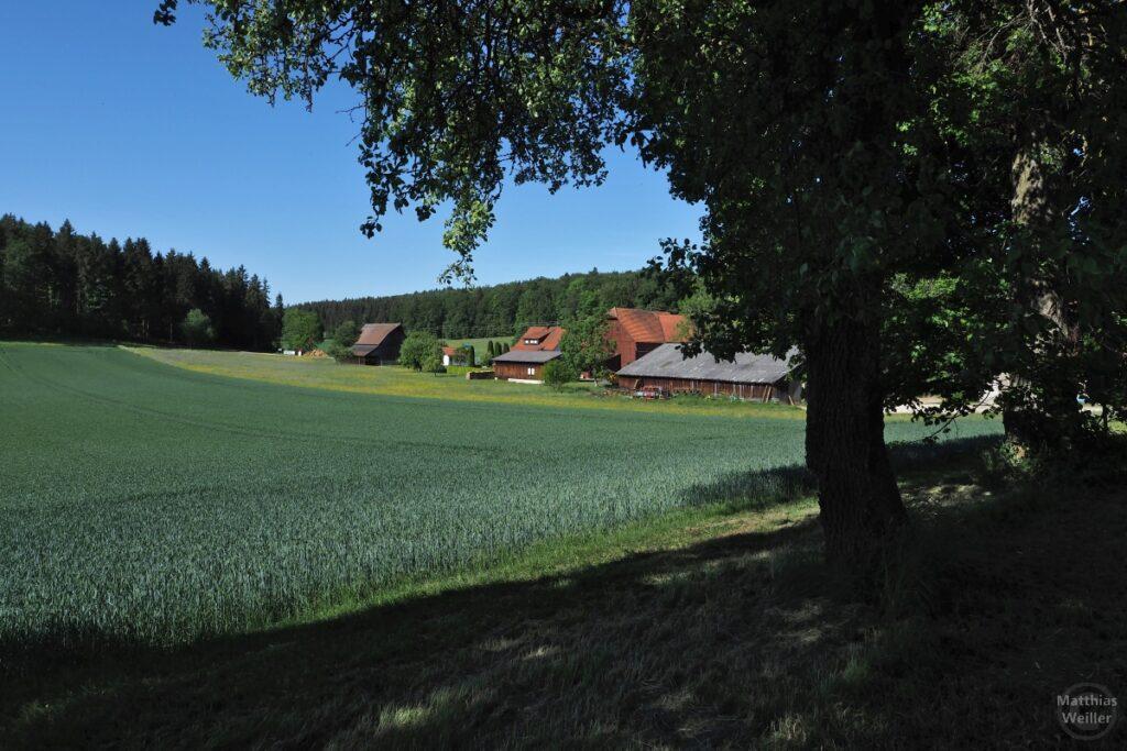 Grünes Weizenfeld mit Gestütshof dahinter