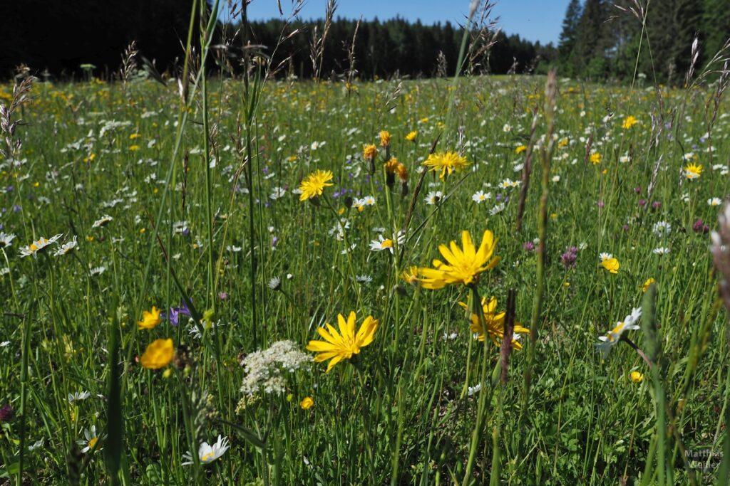 Nahaufnahme Blumenwiese, Löwenzahn. Margeriten, Rotklee u.a.m.