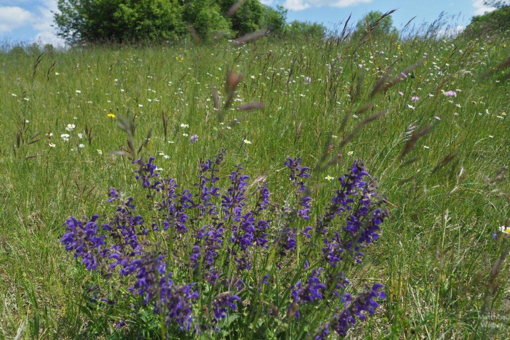 Nahaufnahme Blumenwiese mit violettem Lippenblütlerstrauch