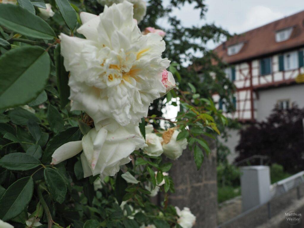 Weiße Blüte mit Fachwerkschloss im Hintergrund