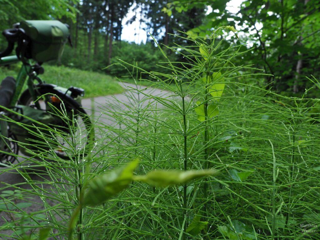 Nahaufnahme Ackerschachtelhalme, grünes Reisevelo Vorderbereich weichgezeichnet