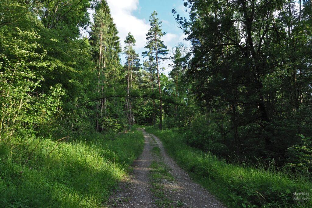Doppelgespurter Fahweg durch Wald mit über Weg gebogenem Baum