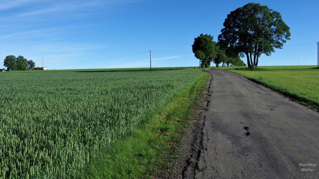 Straßenflucht mit Einzelbäumen, grünes Weizenfeld