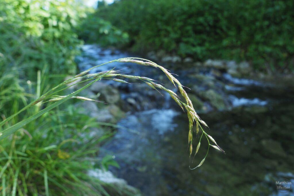 Gebogens Gras über Eyach