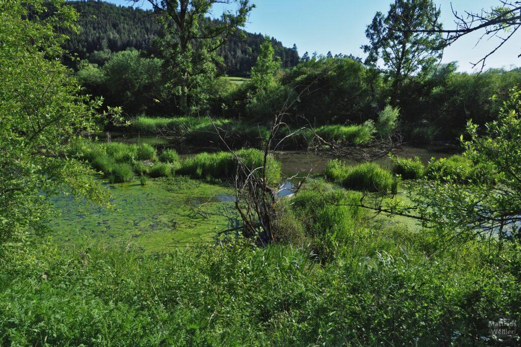 Sumpfiges Donau-Biotop