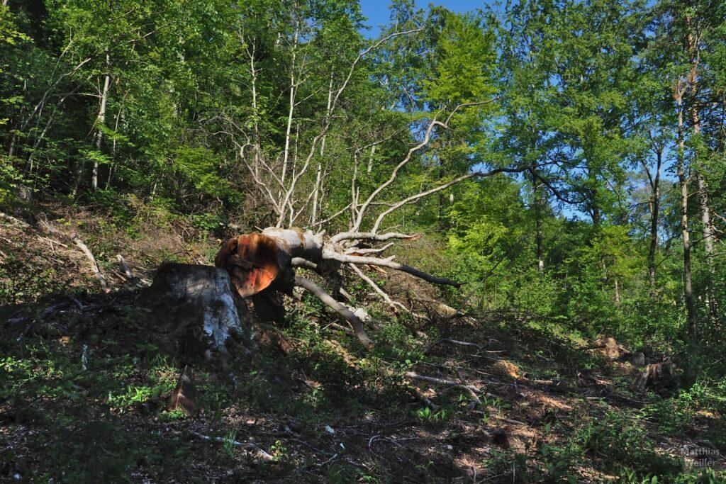 frisch gerodeter Totholzbaum im Waldhang