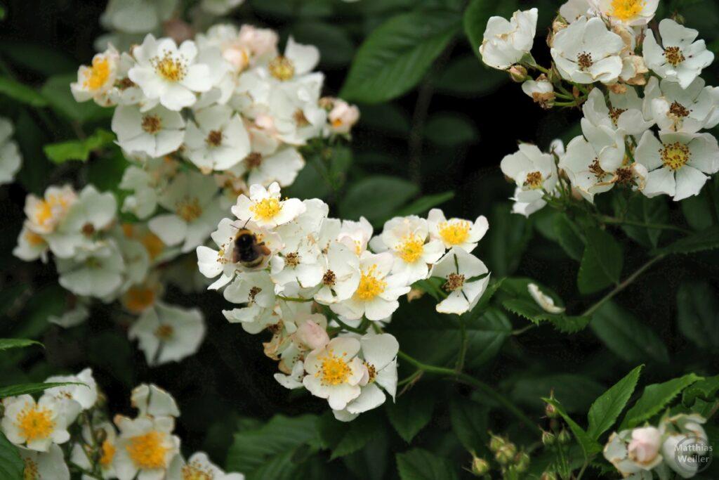 Weiß-gelbe Brombeerblüten mit Biene