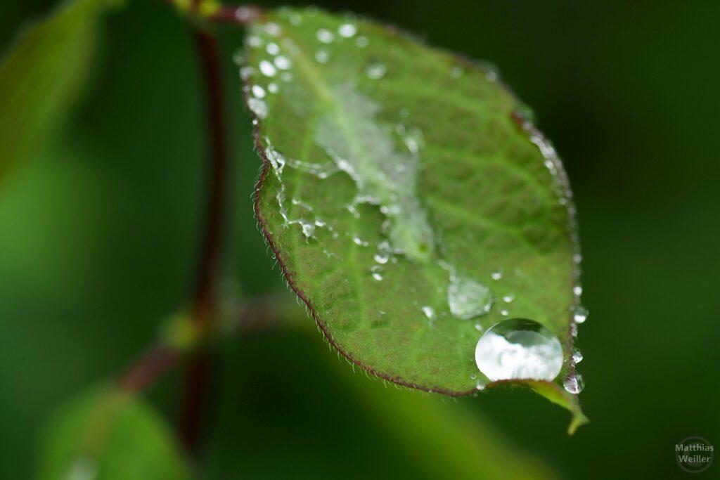 Blatt mit Wassertropfen, Makroaufnahme