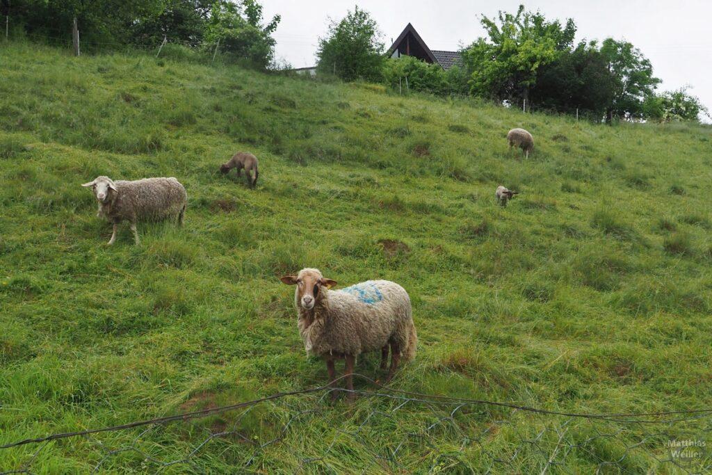 Schafe auf Hangwiese
